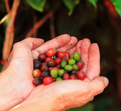 так выглядят кофейные зерна
